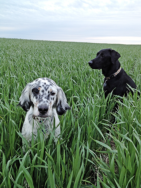 Upland Hunting Dogs